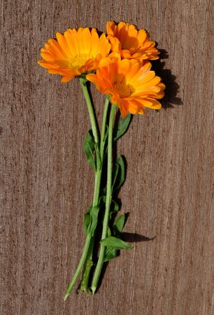 Pot Marigold (Calendula officinalis) on wooden background. Orange flowering medicinal plant of the family Asteraceae.