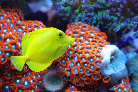 Der Gelbe Tang (Zebrasoma flavescens) mit Korallenriff im Hintergrund. Fisch aus der Familie der Acanthuridae.