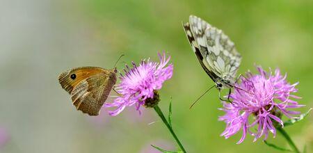 Small Heath (Coenonympha pamphilus) and Marbled White butterfly (Melanargia galathea) sitting on a purple flower knapweed. 免版税图像