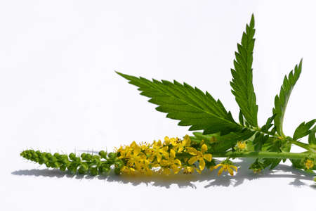 Blooming herbal plant Common agrimony (Agrimonia eupatoria) with green leaf on white background.