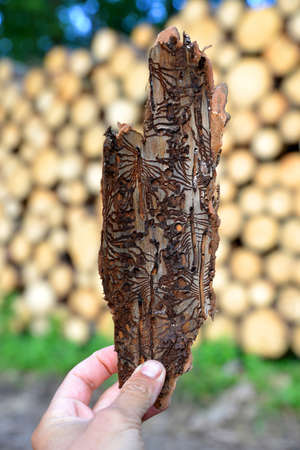 Hand holding spruce bark infested with bark beetles (Ips Typographus) at the background wooden logs. Zdjęcie Seryjne