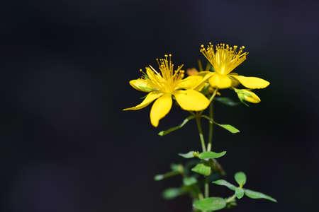 Yellow flowers (Hypericum perforatum) or St John's wort on dark background.