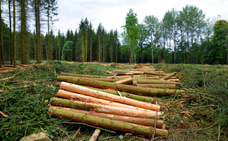 Forest destroyed by bark beetle. Wooden logs cut and stacked.