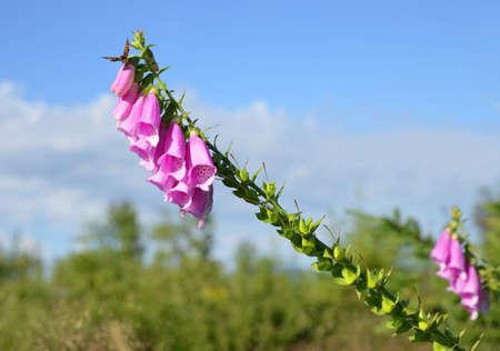 Beautiful flower purple Digitalis or Foxglove growing in the national park Bavarian forest. Germany. Zdjęcie Seryjne