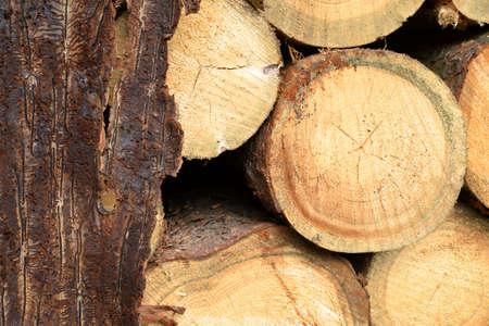 Spruce bark with pattern from bark beetles with cut tree logs. Zdjęcie Seryjne