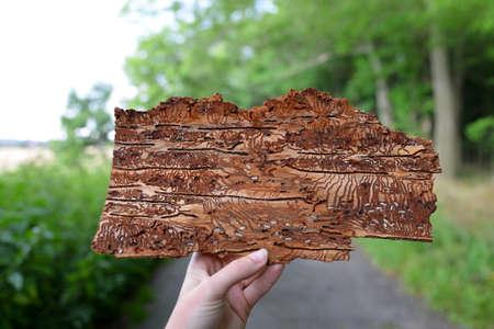 Hand holding spruce bark infested with bark beetles (Ips Typographus) Zdjęcie Seryjne
