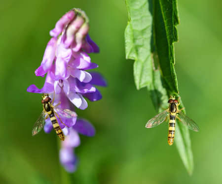 Marmalade Hoverfly - Episyrphus balteatus sitting on the purple flower Tufted Vetch and green leaf. Nature background.