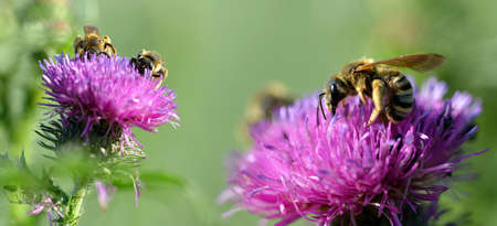 Honey bee (Apis mellifera) on purple thistle flower. Nature background.