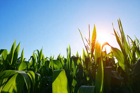 Morning sunrise over the corn field.  Agricultural landscape.