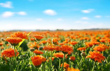 Pot Marigold (Calendula officinalis) growing on the field. Summer season. Zdjęcie Seryjne