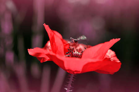 Red poppy flower with Marmalade Hoverfly ( Episyrphus balteatus ) on dark nature background. Spring season.