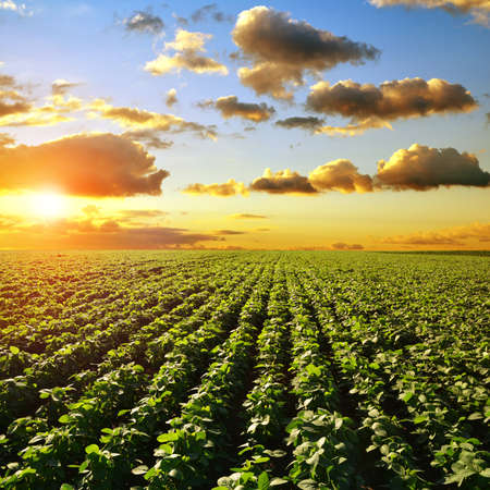 Growing green soybeans plant on field. Soy plantation at sunset. Spring landscape in the setting sun.