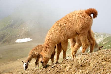 Herd of llamas (lama glama) in mountain landscape.