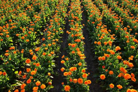 Pot Marigold (Calendula officinalis) growing on the field. Medicinal herb. Zdjęcie Seryjne