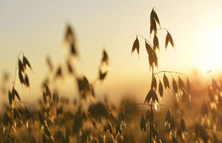 Oats field close up at sunset. Agricultural background.