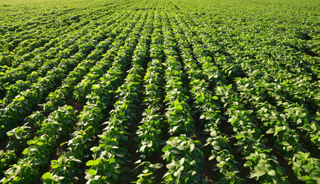 Growing green soybeans plant on field. Soy plantation as background. Zdjęcie Seryjne