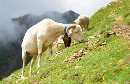 Sheep grazing in pasture near Col du Tourmalet in Pyrenees mountains. France