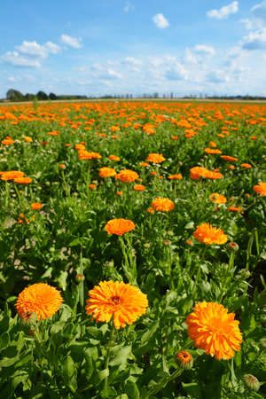 Pot Marigold (Calendula officinalis) growing on the field. Summer landscape with blue sunny sky. Zdjęcie Seryjne