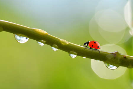 Transparent drops of water witch ladybug on branch of tree close up.Natural background. Zdjęcie Seryjne