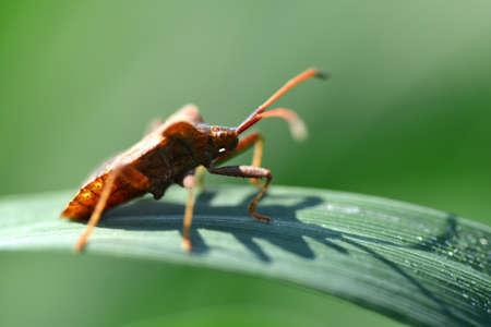 Dock bug (Coreus marginatus) on a green leaf of grass.