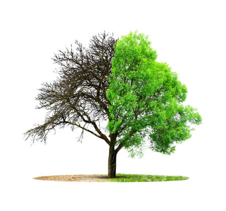 Live and dead tree isolated on a white background. Global warming or climate change concepts.