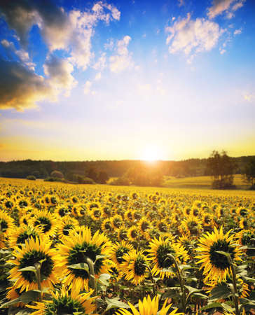 Spring landscape with blooming sunflower field at sunset.