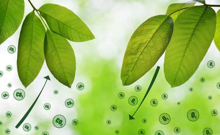 Fresh green spring leaves on natural background. Carbon dioxide absorption and oxygen release. Standard-Bild
