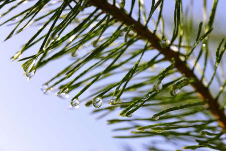 Drops of rain on the needles of the pine branch close up. Nature background.