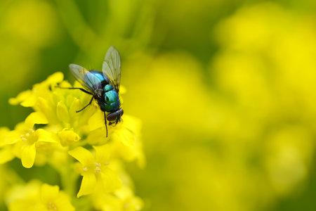 The common green bottle fly (Lucilia sericata) on a yellow flower Barbarea vulgaris. Spring season.