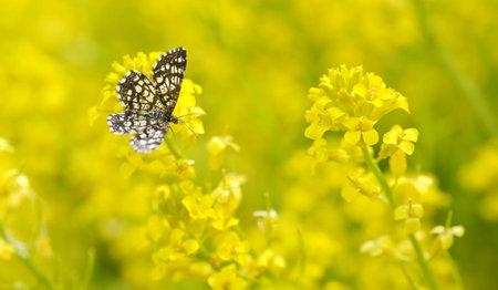 Latticed Heath Moth (Chiasmia clathrata) on a yellow flower Barbarea vulgaris. Spring season.