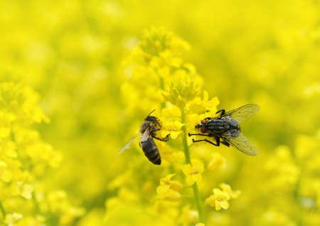 Fly with honey bee on a yellow flower Barbarea vulgaris. Spring season. Stockfoto