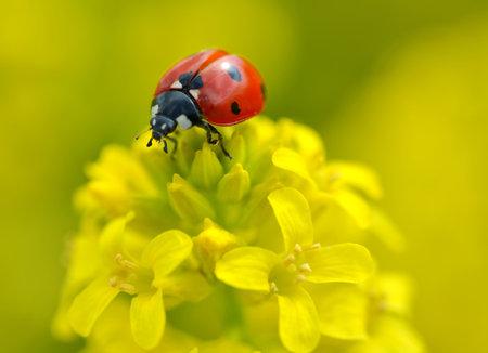 Ladybug on a yellow flower Barbarea vulgaris. Spring season.