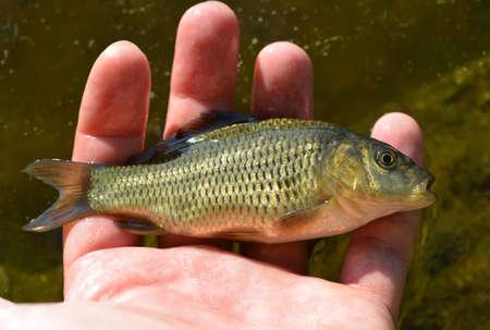 Small carp (Cyprinus carpio) in the palm of the fisher. Stockfoto