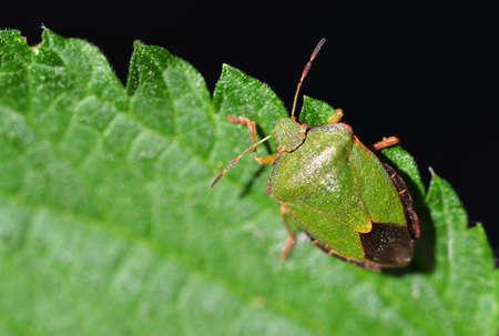 Green Shield Bug (Palomena prasina) on a nettle leaf.