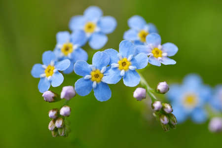 Forget-me-not flower (Myosotis sylvatica) closeup on meadow. Spring blue flowering plant on green nature background.