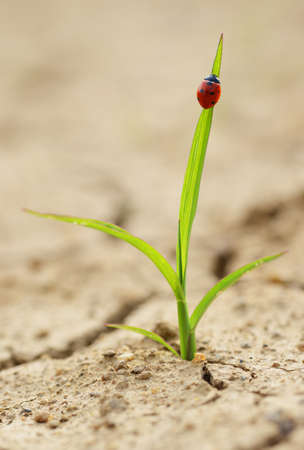 Ladybug on smal plant growing from dried cracked soil. New life concept.