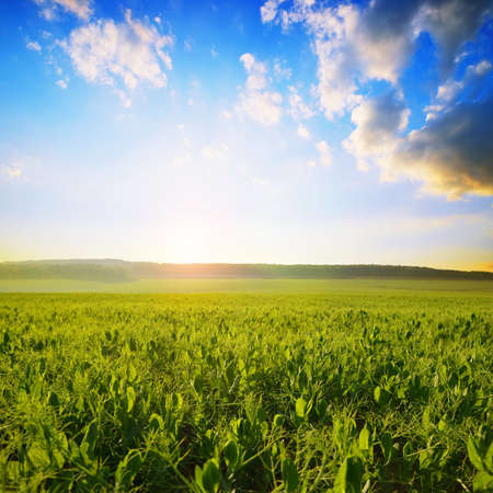 Young pea plants growing on the field at sunset. Spring landscape. Stockfoto