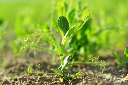 Young pea plant growing on the field. Spring season. Stockfoto