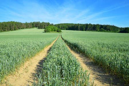 Spring rural landscape. Dirt road in wheat field. Czech Republic.