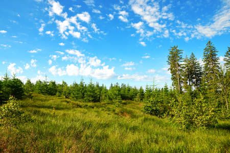 Spring landscape in Sumava National Park. Meadow with spruce trees on Pancir mountain, Czech Republic.