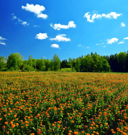 Pot Marigold (Calendula officinalis) growing on the field. Rural landscape. Summer season.