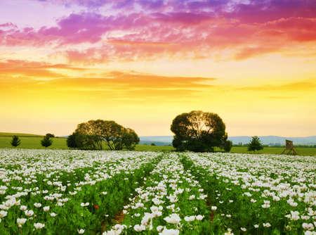 Blooming poppy field at sunset sky. Summer landscape. Stockfoto