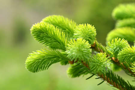 Branch of spruce tree close up. Spring nature background.