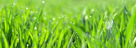 Green wheat grass with transparent water drops on field close up. Fresh morning dew at sunrise. Panoramic spring nature background. Stockfoto