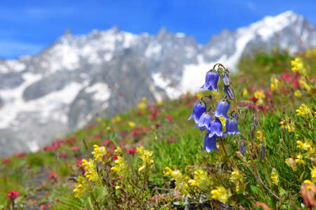 Bearded Bellflower (Campanula barbata) growing in the mountain meadow. Summer landscape with Mont Blanc massif (Monte Bianco) at the background. Aosta Valley, Italy.