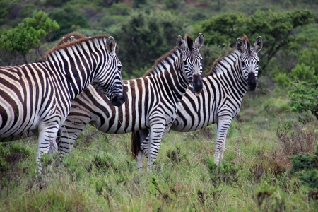 grassing: A group of zebras grassing in Kap River Nature Reserve, South Africa Stock Photo