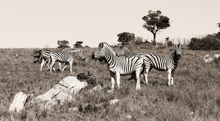 A group of zebras grassing in Kap River Nature Reserve, South Africa.
