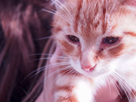 rusty white little kitten in the arms of a girl, cute chicks, orange cat, sunny day Archivio Fotografico