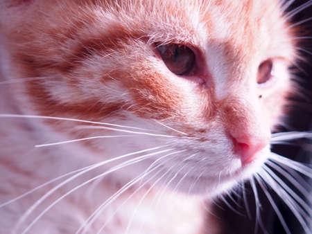 close-up of rusty white kitten head, cat look, cat in the sun, cute animals Archivio Fotografico