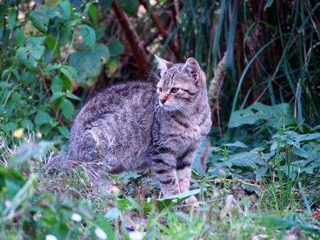 gray tabby cat in the garden lurking for a mouse, kitten in the autumn green vegetation